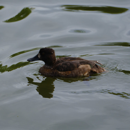 Young tufted duck, River Avon