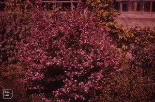Cultivated leptospermum, Massey University College, 1957