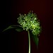 58502.01 Hydrangea paniculata 'Grandiflora' by horticultural art