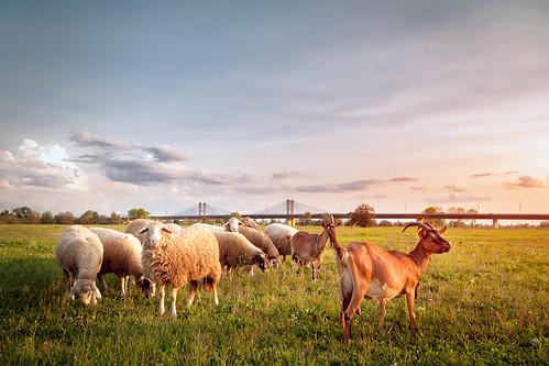 zagreb croatia domovinskimost sava rijekasava ovce zalazaksunca petruševec oblaci trava koze homelandbridge clouds sunset sheep goats bridge river riverside savariver outdoor