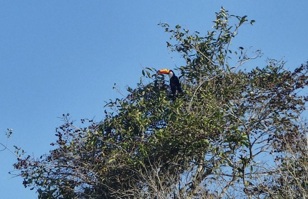 Iguazu - Argentine - Toucan