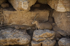 Nubian Ibex in Jerusalem-Biblical-Zoo-IZE-360