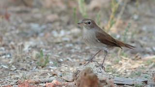 Rouxinol - Luscinia megarhynchos - Nightingale