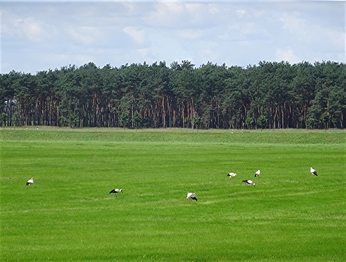 Störche auf den Wiesen bei der Garzer Schleuße, NGID715521861