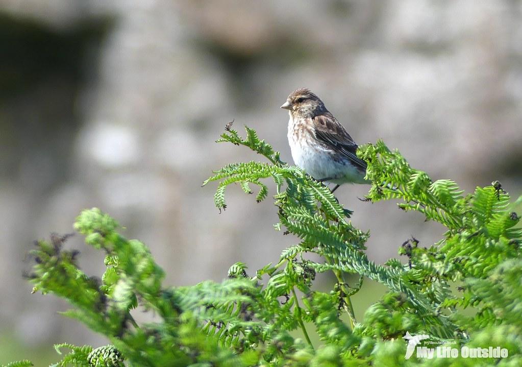 P1100461 - Twite, Isle of Mull