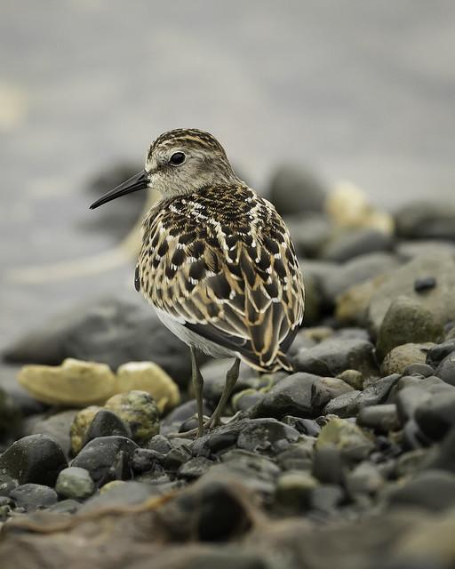 Bairds Sandpiper, Vancouver Island BC
