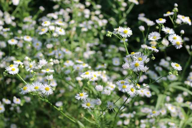 similar photo but closer in so there are fewer fleabane flowers in the frame