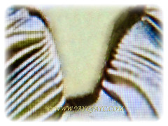 Triangular or arrow-shaped hastula of Latania loddigesii (Blue Latan Palm, Latan Palm, Blue Latania Palm), 11 Aug 2017
