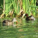Aves en las lagunas de La Guardia (Toledo). 30/7/2017-15/8/2017