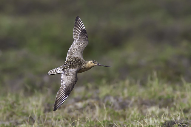 Bar-tailed Godwit - Nome, Canon EOS-1D X, Canon EF 600mm f/4L IS