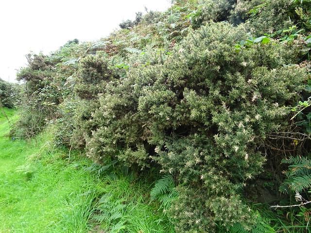 Is this a fairy bush