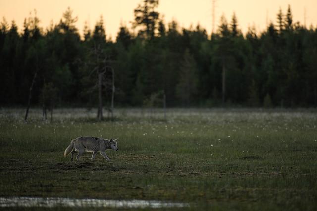 Loup de Finlande 02h06, Nikon D3, AF-S VR Zoom-Nikkor 200-400mm f/4G IF-ED