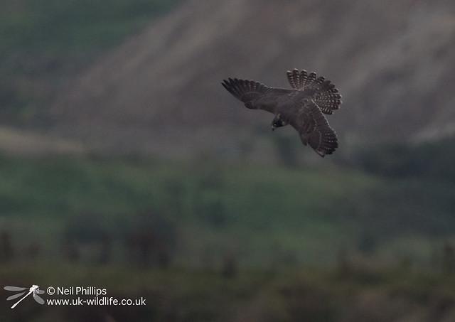 Peregrine falcon-3