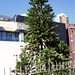 Wollemi Pine, Wollemia nobilis