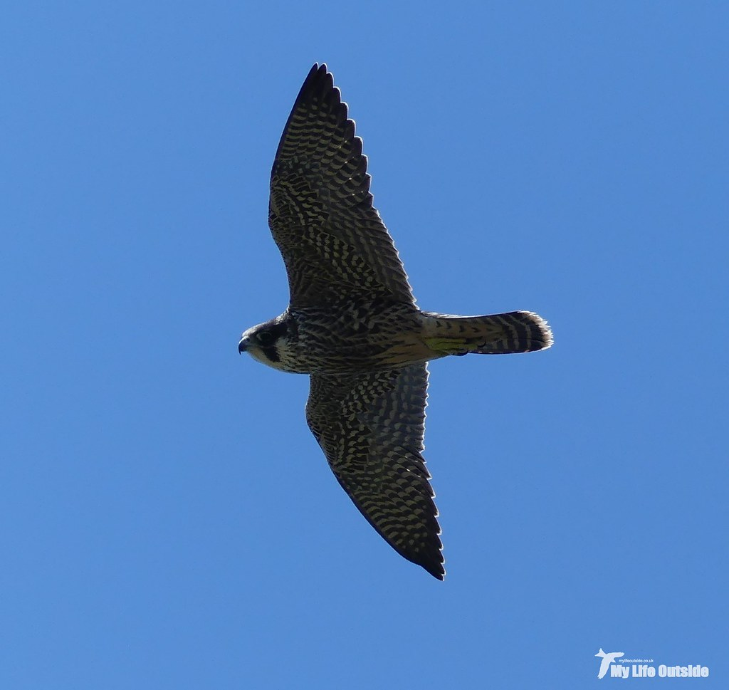 P1100805_2 - Peregrine Falcon, Angle Peninsula