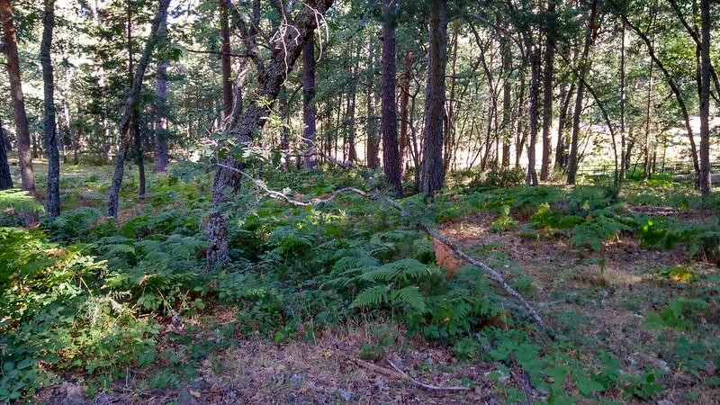 Helechos bajo la sombra de los pinos 2
