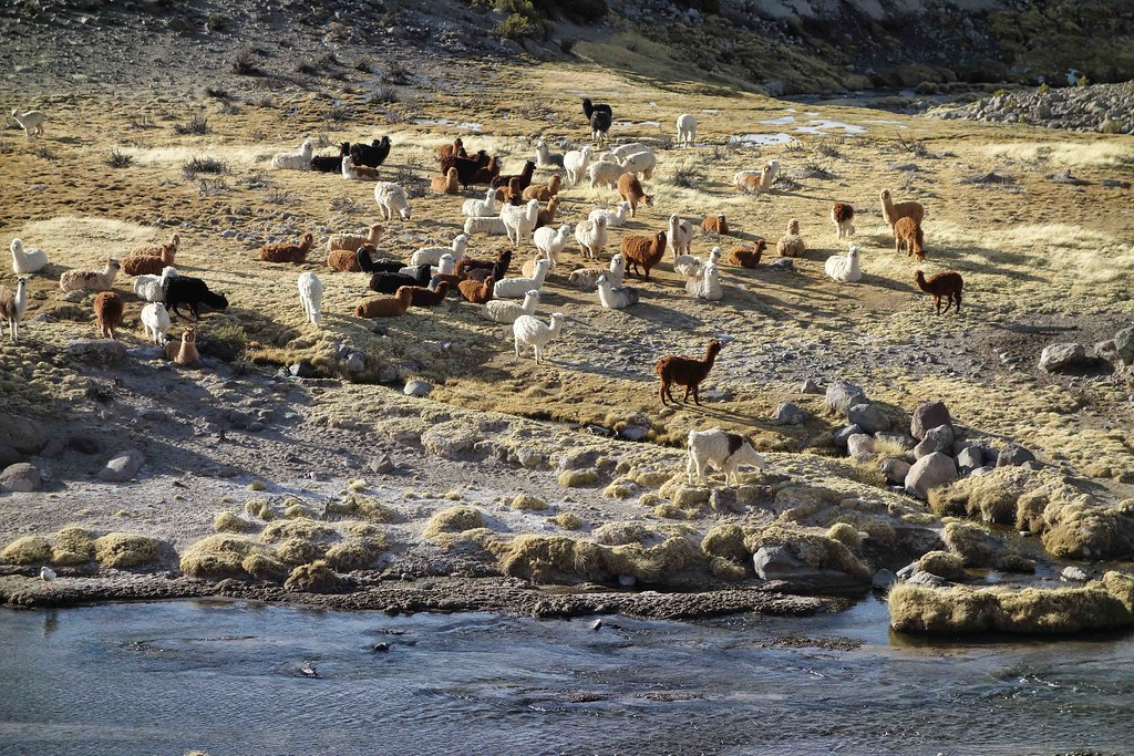 Lamas et Alpacas 1