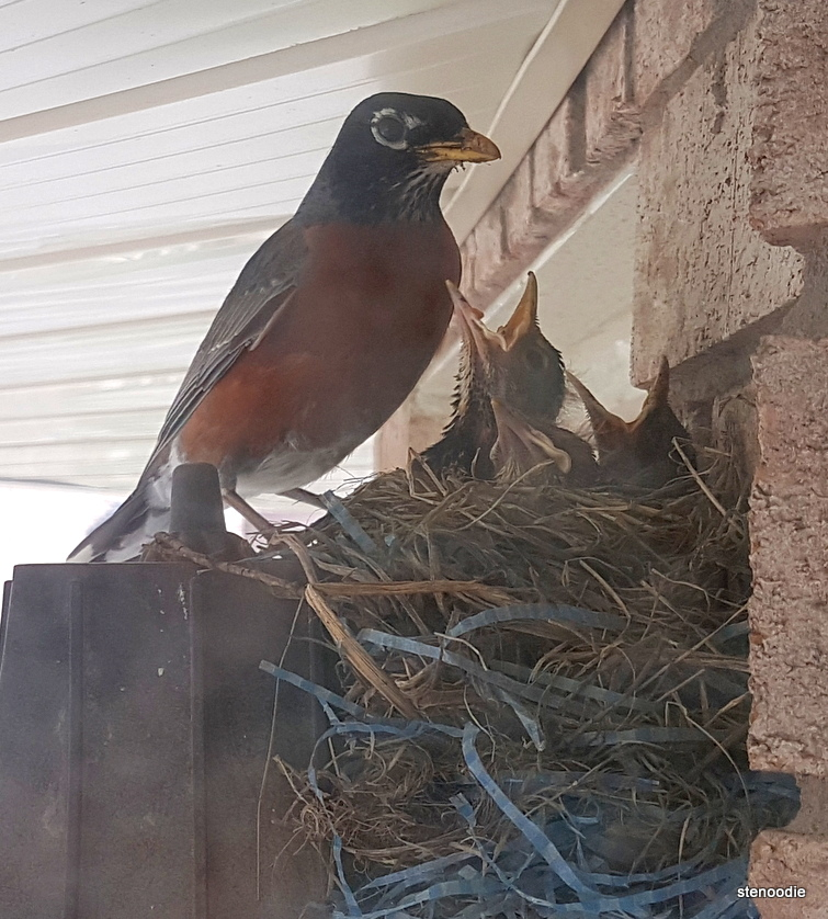 Parent robin and babies