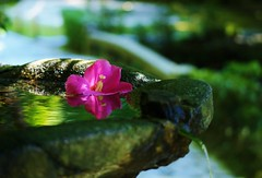 Hibiscus mutabilis / Kyoto Honen-in