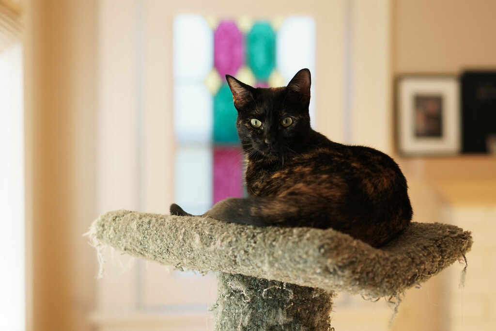 Our cat Trixie sits atop the cat tree in front of stained glass windows