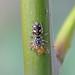 Common Zebra Spider (Salticus scenicus), St Bees, Cumbria, England
