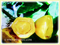 Fleshy and funnel-shaped yellow fruits of Pereskia sacharosa (Needle Seven Blade, Seven Star Needle, Rose Cactus, Tree Cancer, Jarum Tujuh Bilah in Malay), 11 Sept 2017