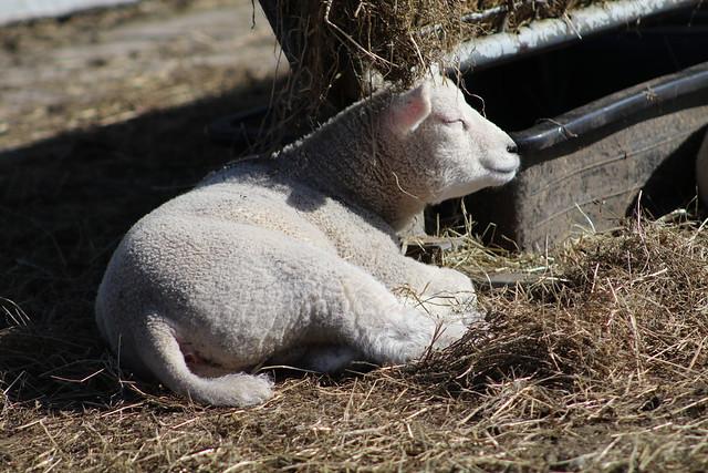 enjoy the sun 2017 lambs