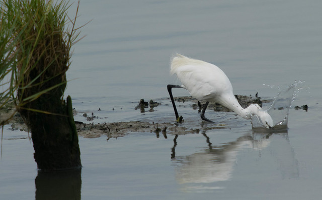 The Little Egret fishing, Nikon D3300, Sigma 50-500mm F4-6.3 EX APO RF HSM