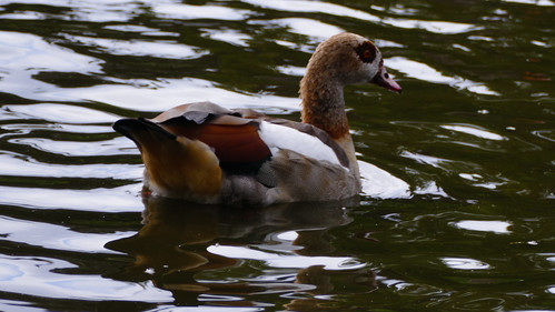 Egyptian goose on the water, West Park
