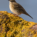 Pipit on Lichen Covered Rock