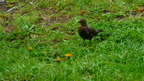 Young blackbird hunting for food