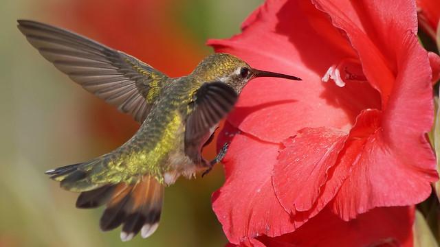 Rufous Hummingbird, Sony SLT-A77V, Sony 70-400mm F4-5.6 G SSM (SAL70400G)
