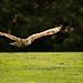 International Birds of Prey Centre (47)