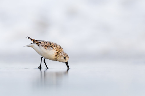 shorebird sandpiper highkey beach ocean feeding white nature bird wildlife water shore sanderling peep oceancitynj ocnj oceancity newjersey unitedstates us