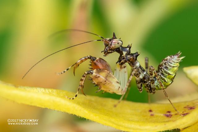 Boxer mantis nymph (Mantodea) - DSC_7917