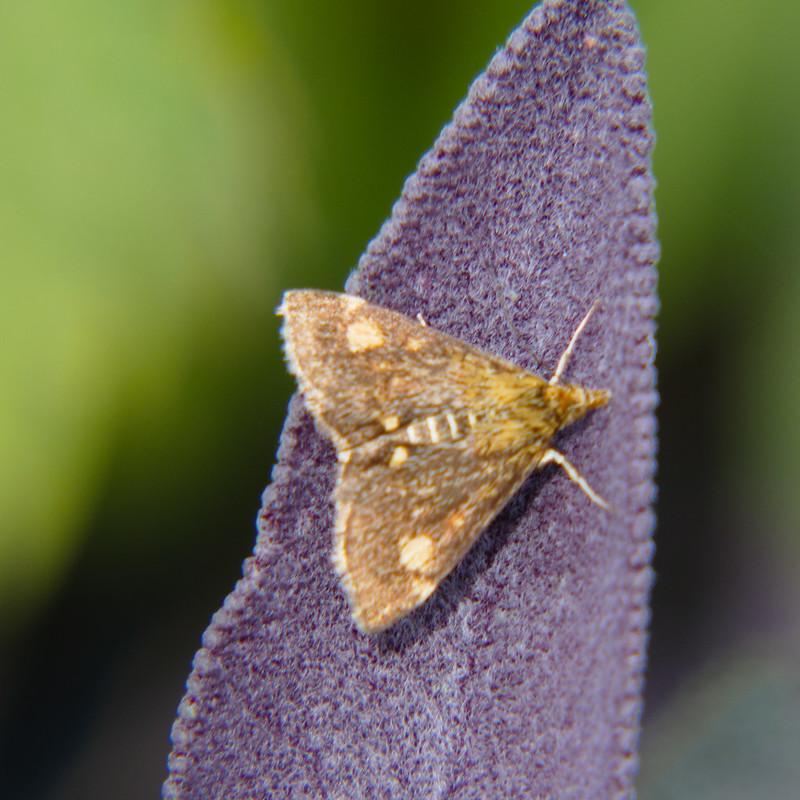 Tiny moth on sage leaf