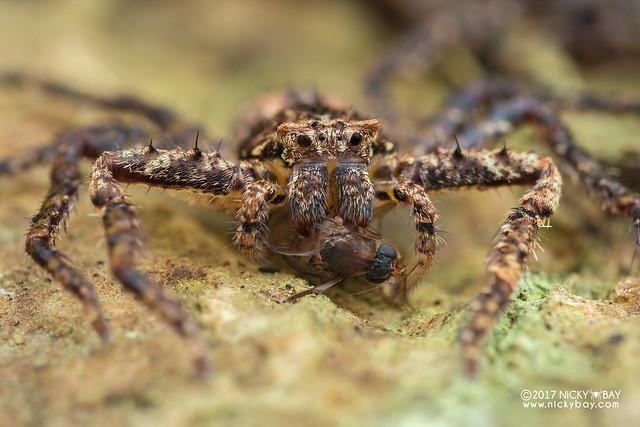 Huntsman spider (Heteropoda sp.) - DSC_8217