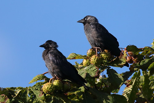 kauwen    Corvus monedula