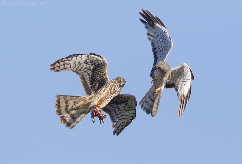 Northern Harrier food exchange 2