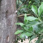 Acacia mangium leaves and tree