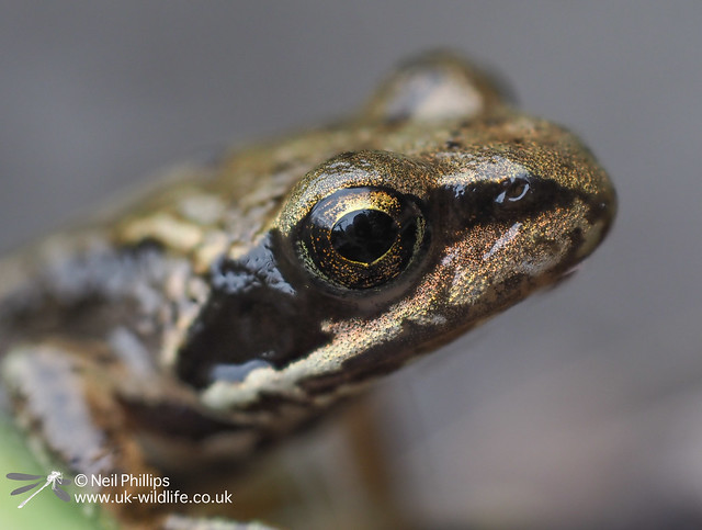 Common froglet-10