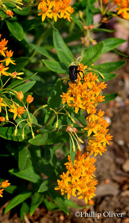 Asclepias-tuberosa-butterfly-weed