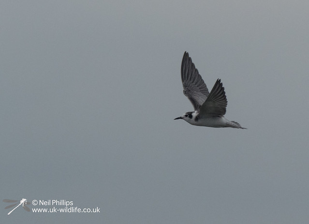 Black winged tern-4
