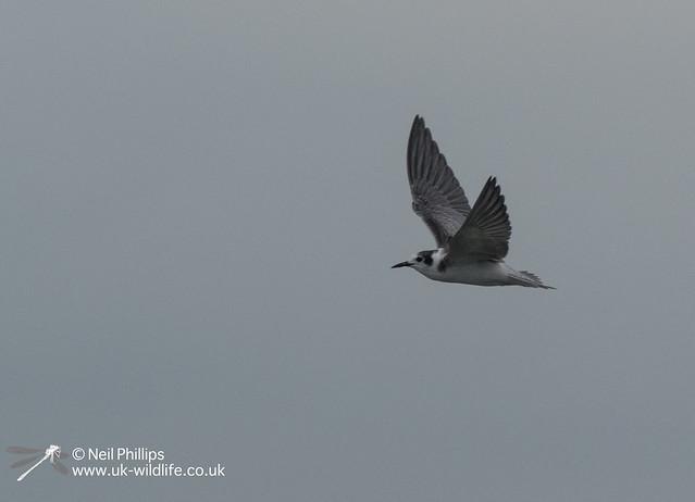 Black winged tern-4