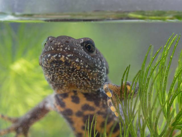 Great crested newt edited-2