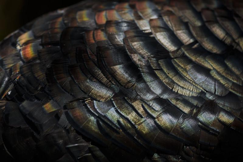 Broad Breasted Bronze turkey