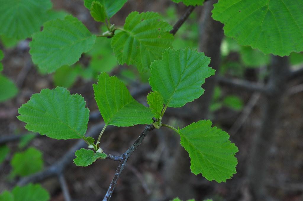 16-2 봄철 물오리나무 나뭇잎