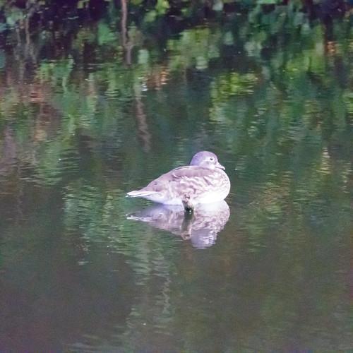 Carolina duck, female, resting