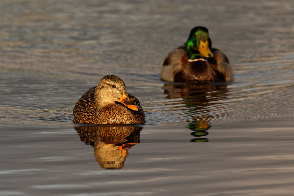 A mallard pair swims with the female on point