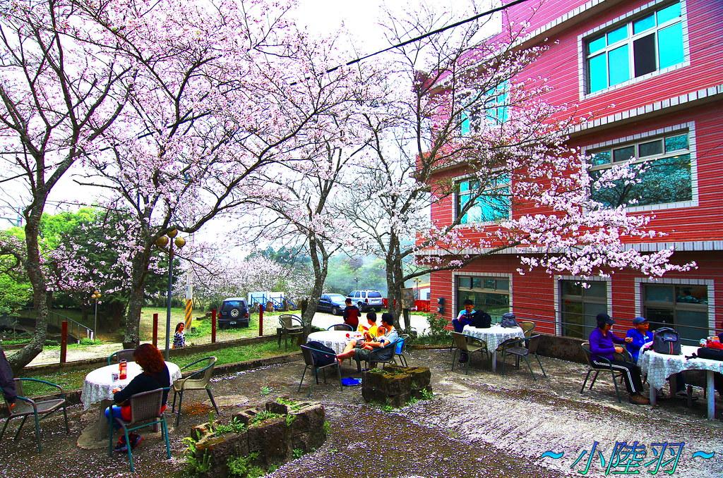 記得來去苗栗 看 吉野櫻花